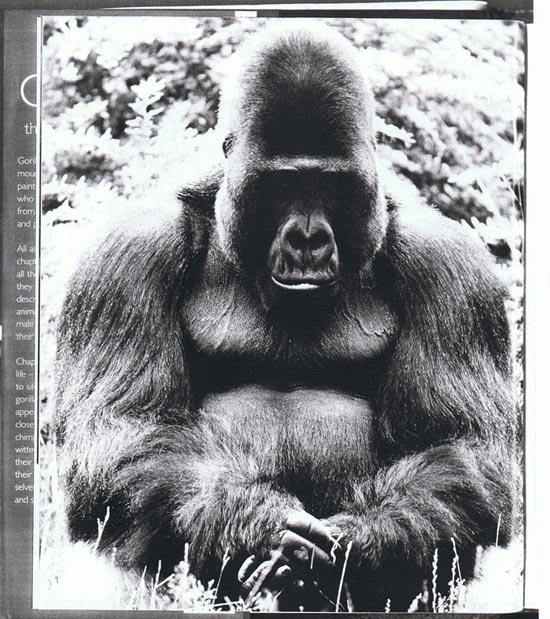 a-1-gorilla